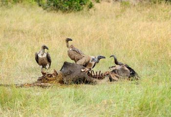 Vulture feeding on a kill. Masai Mara National Park, Kenya