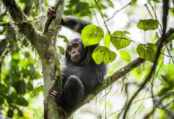 Close up portrait of chimpanzee ( Pan troglodytes ) resting on the tree in the jungle. Kibale forest in Uganda