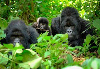 gorilla 1a