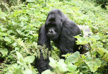gorilla 2a