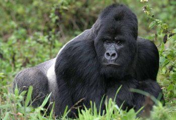 gorilla 4e