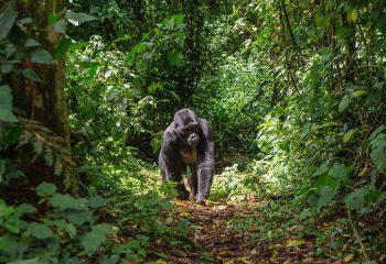 gorilla 3e