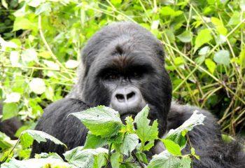 gorilla-7