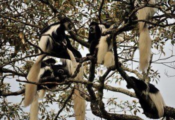 arusha monkey